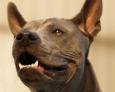 Thai Ridgeback Dog