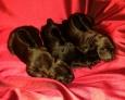 Mythaidog puppies