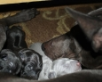 Thai ridgeback puppies