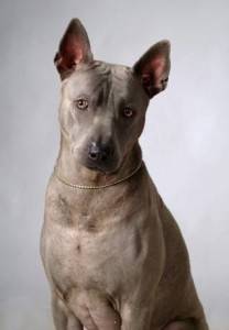 TRD: Thai Ridgeback Dog / Тайский Риджбек FUH SANSAI