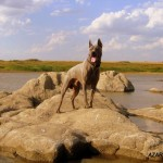 thai ridgeback Azart